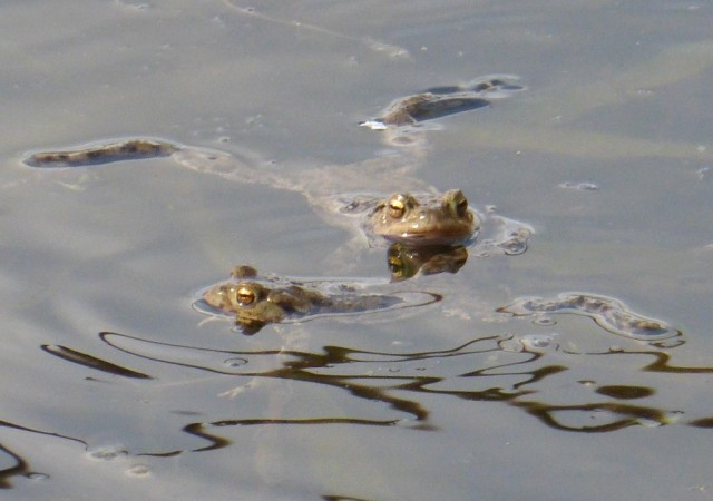 Toads April 2015