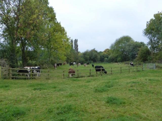 New Meadow being grazed October 2015