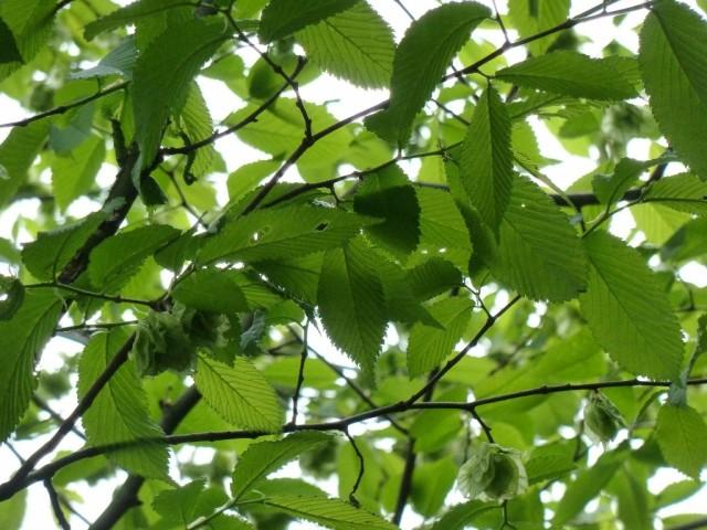 Elm leaves & seeds in Copse