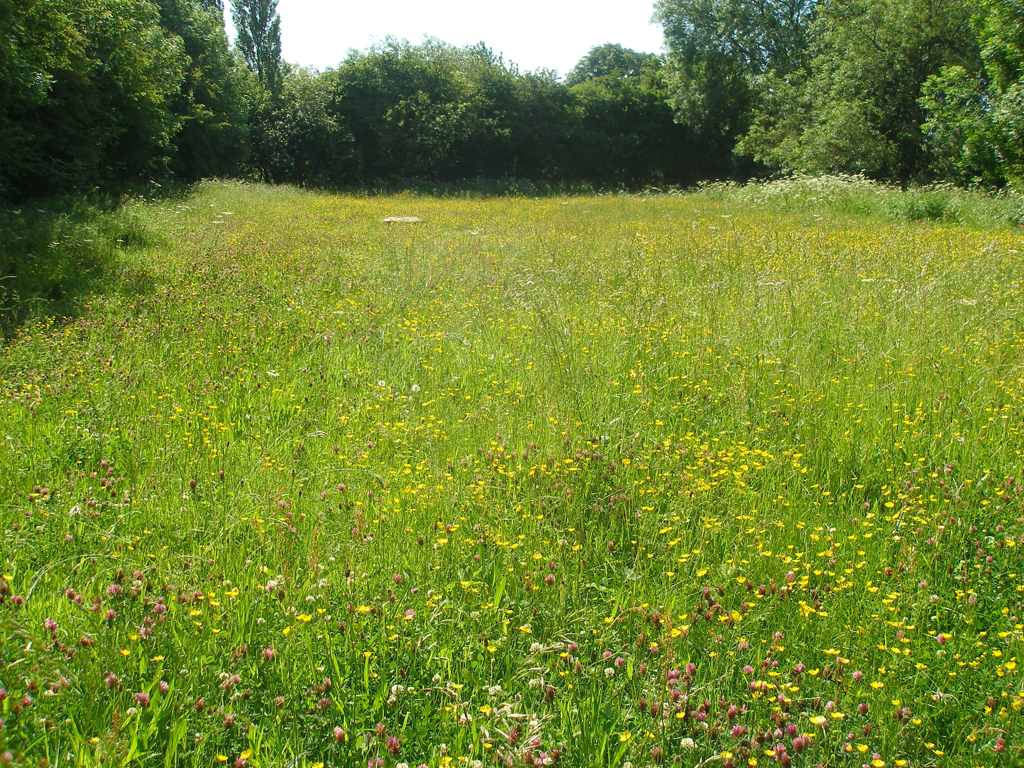 New meadow the friends of rawcliffe meadows for The meado