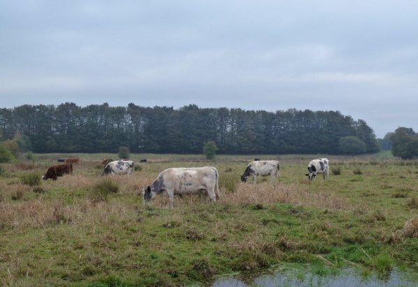 Cows grazing the reservoir basin