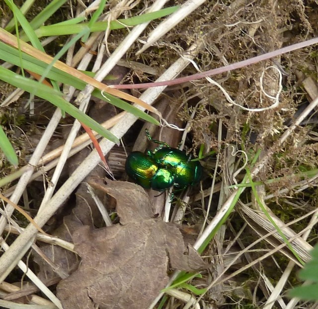 Pair of tansy beetles