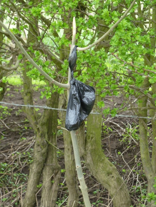 Bag of dog droppings hanging from a bush