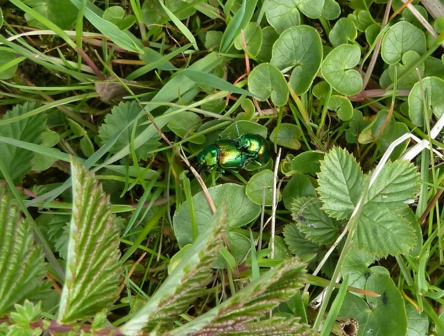 Tansy beetles in action