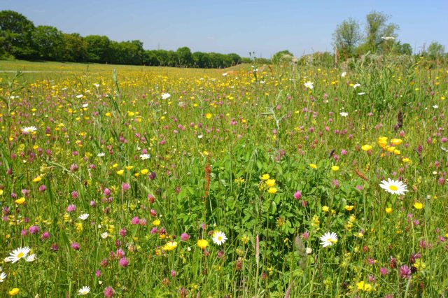 Southern Hay meadow