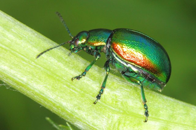 Tansy beetle (c) FoRM & Whitfield Benson 2013