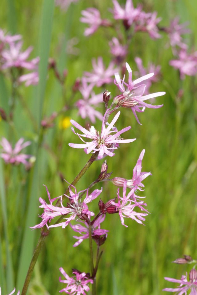 Ragged Robin on Rawcliffe Meadows