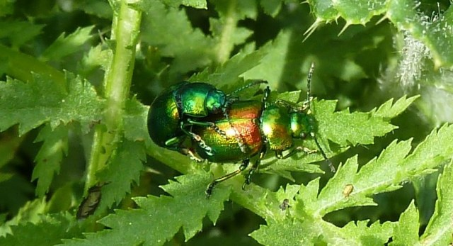 Tansy beetles mating