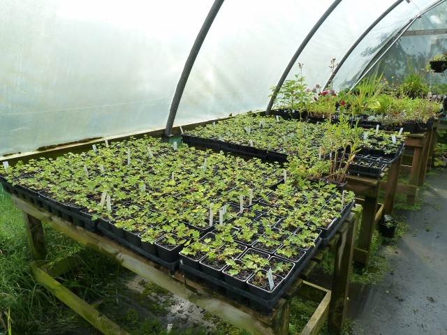 Plants in polytunnel at BON