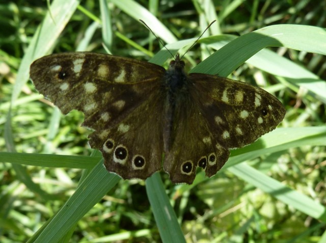Woodland Brown butterfly
