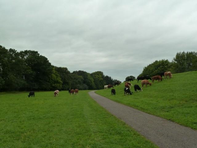 Bullocks grazing (c) M.Phythian 2013