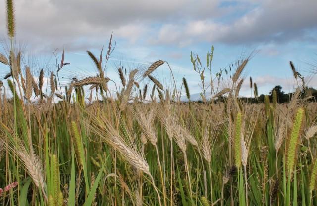 RM Cornfield Crop 2013