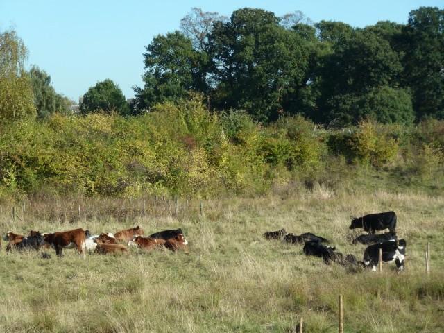 Cattle in Reservoir Basin October 2013