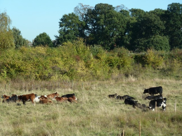 Cattle in Reservoir Basin October 2013