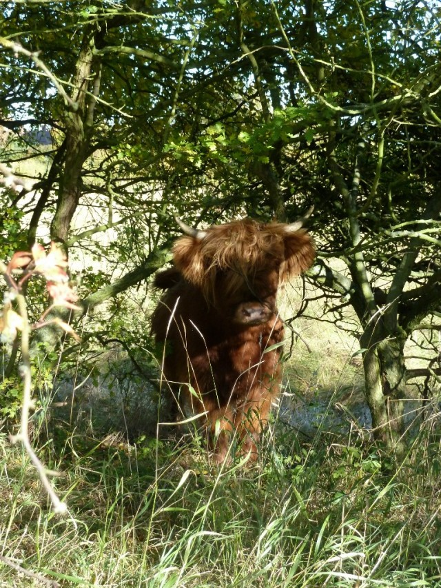 One of the pair of Highland cattle