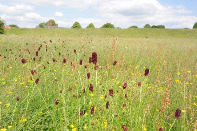 Grassland with abundant great burnet – a key feature of Clifton Ings & Rawcliffe Meadows SSSI – on the route of the Council's proposed new cycle path