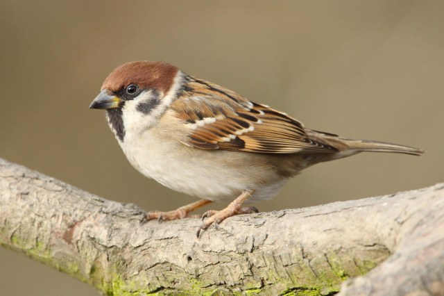 Tree Sparrow (c) Whitfield Benson 2013