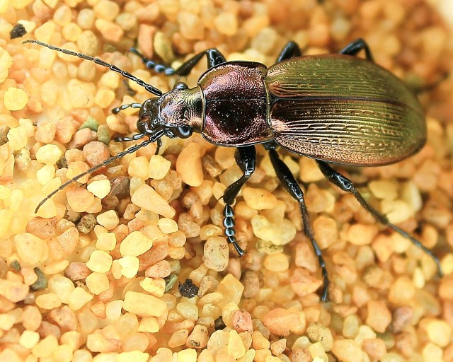 Necklace Ground Beetle