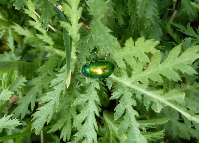 Tansy Beetle 29th March 2014