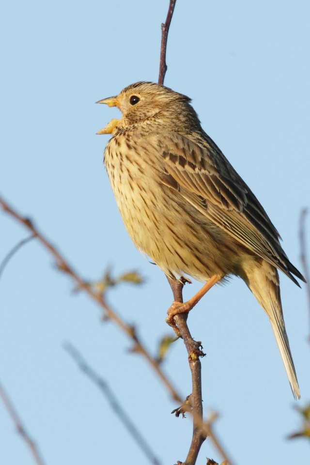 Corn Bunting (c) Whitfield Benson