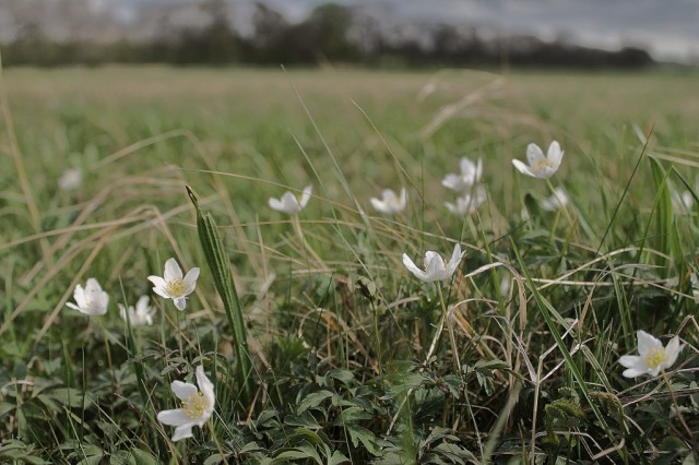 wood anemones clifton ings