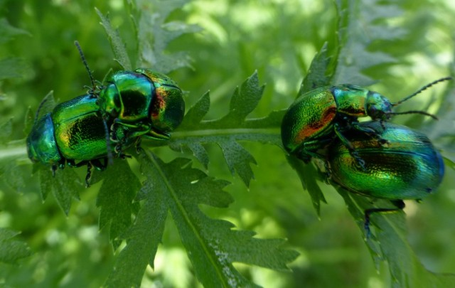 Tansy Beetles paired up