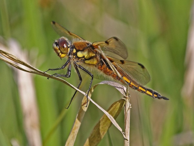 Broad-bodied chaser female 1024x768 (c) Gary Cowl 2014