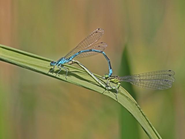 Damselflies mating (c) Gary Cowl (1024x768)
