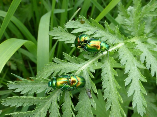 Tansy Beetle mixed doubles (1024x769)