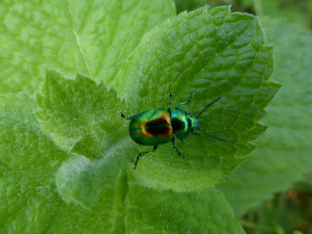 Tansy Beetle on mint