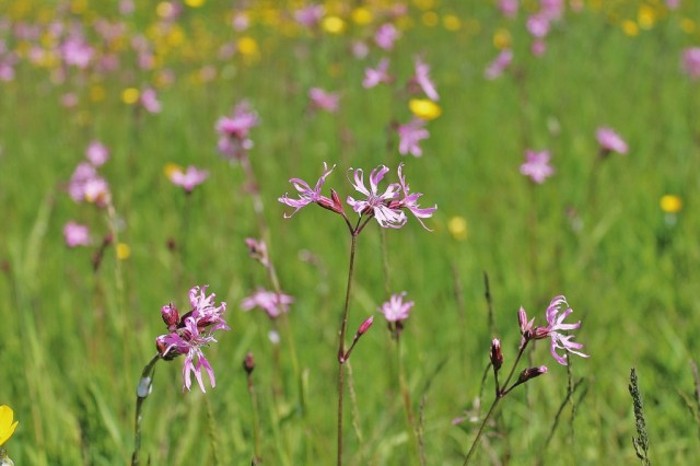 Ragged robin on Rawcliffe Meadows June 2013