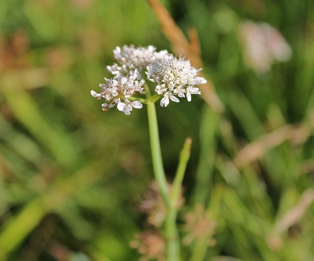 Tubular water dropwort on Rawcliffe Meadows