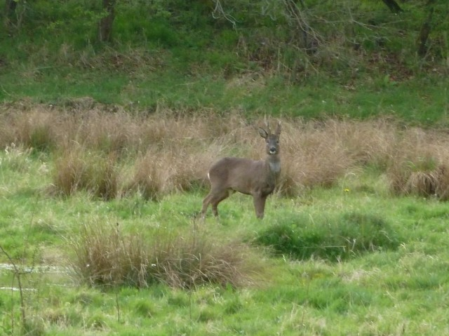 Roe deer April 2014