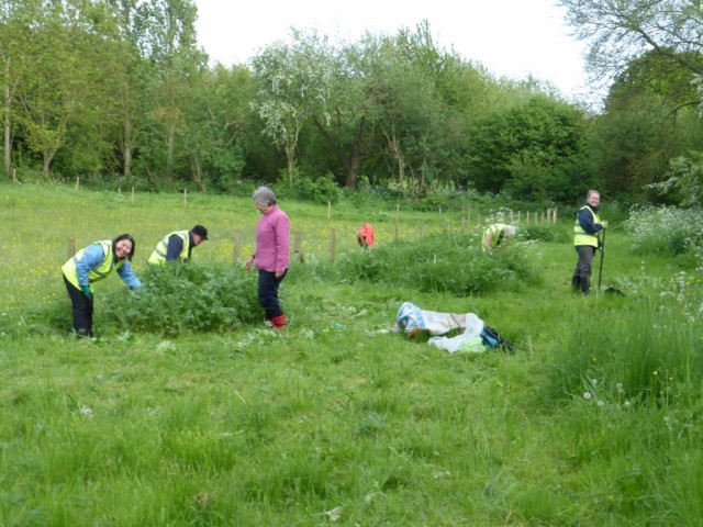 Tending the Tansy 21 May 2015