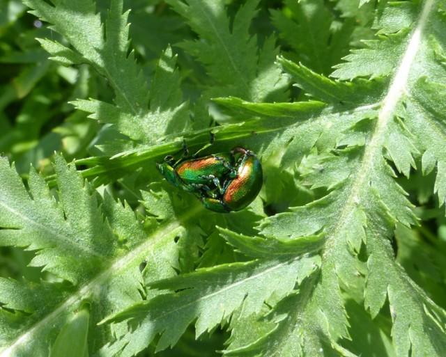 Tansy Beetles