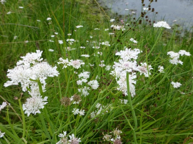 Tubular Water-dropwort