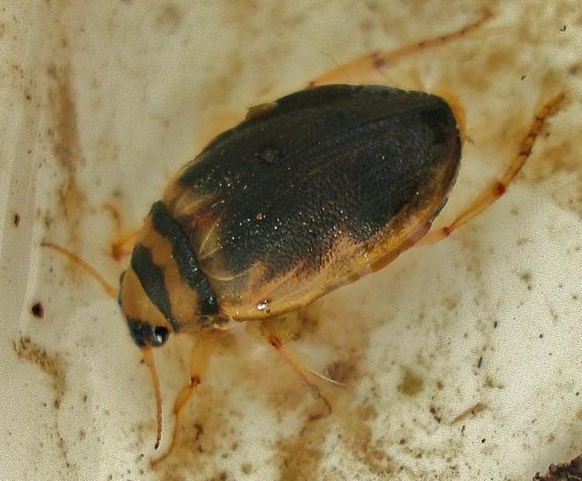 Screech Beetle (c) Martin Hammond
