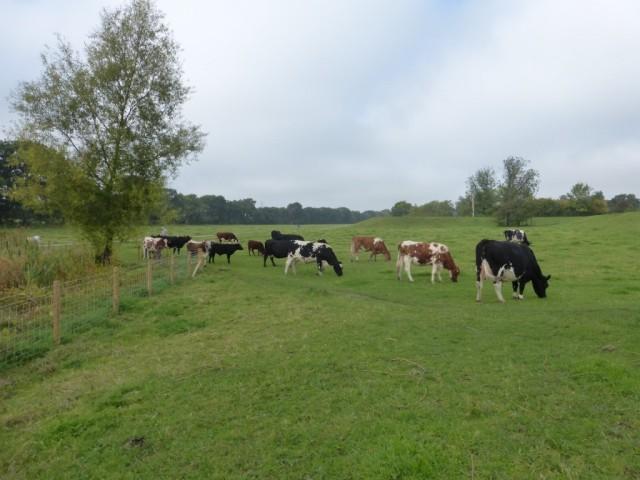 Cattle 27 Sept 2015