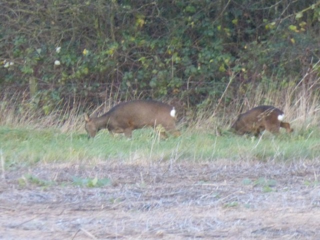Buck and doe Roe Deer