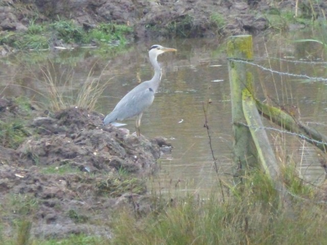 Heron at Water Vole Scrape 8 Nov 2015