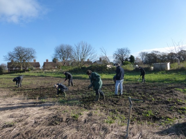 YWT volunteers hoeing fodder radish