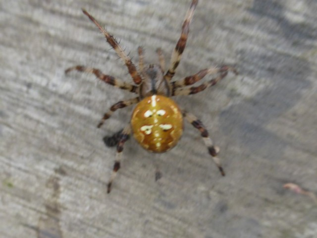 Four-spot Orb-weaver Spider