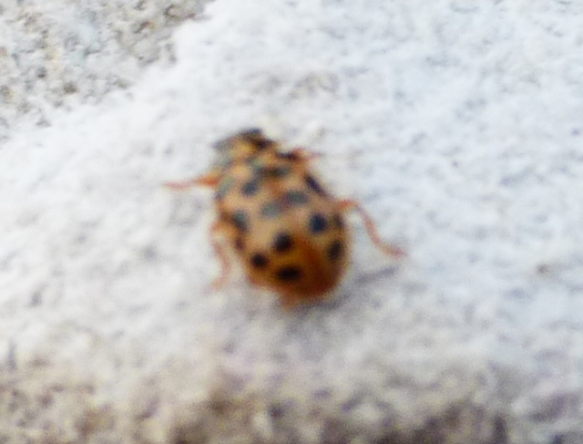 Anisosticta novemdecimpunctata - 19 spot ladybird