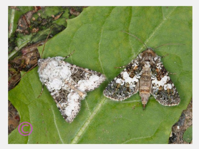 Boardered White and Varied Coronet