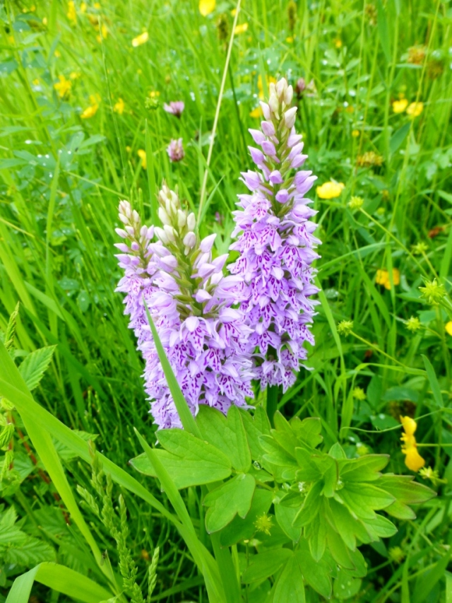 Common Spotted Orchids (768x1024)