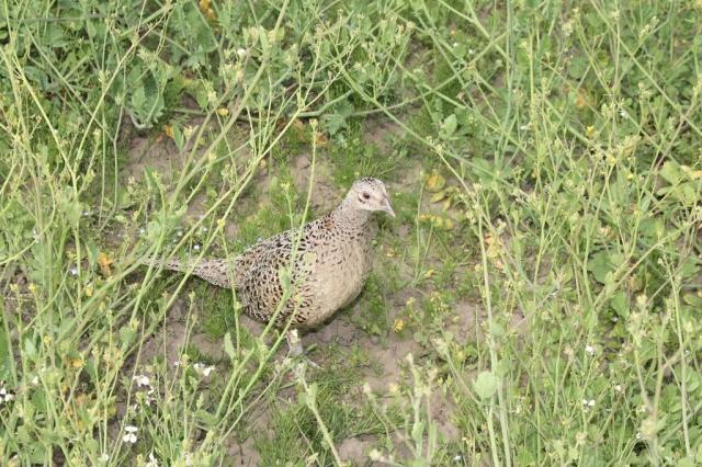 Mother pheasant