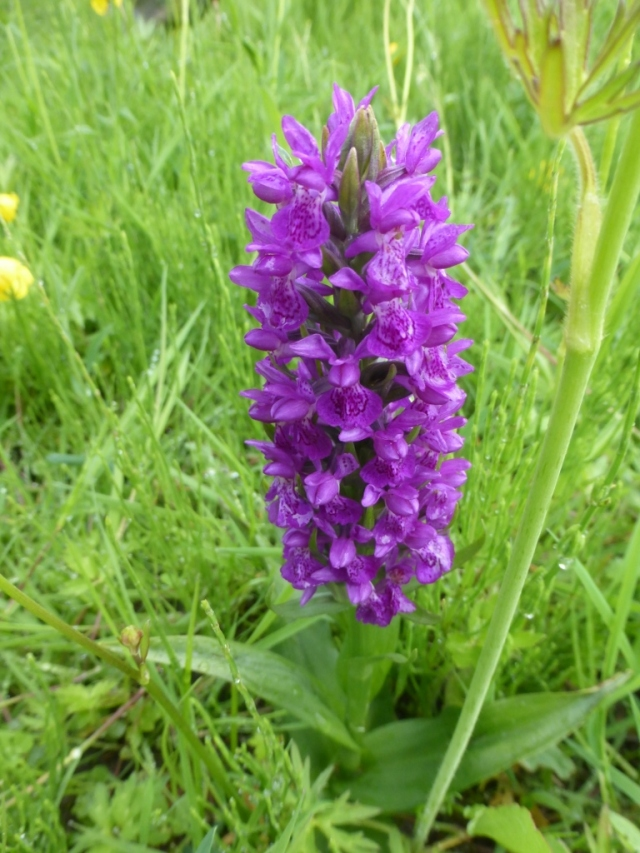 Northern Marsh Orchid (768x1024)