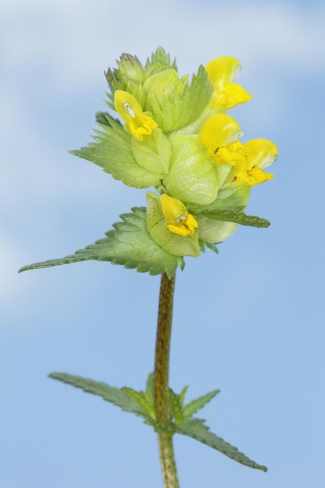 Yellow rattle (c) Whitfield Benson