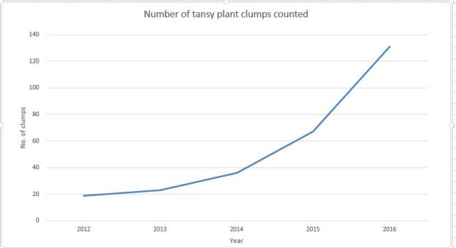tansy-clumps-counted-2016