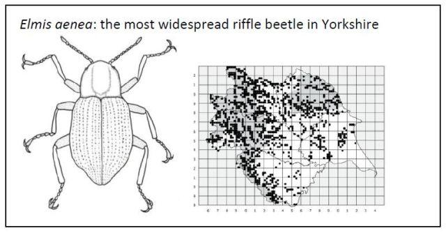 water-beetles-illustration